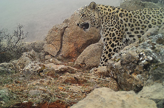 Another Caucasian leopard spotted by cameras in Armenia