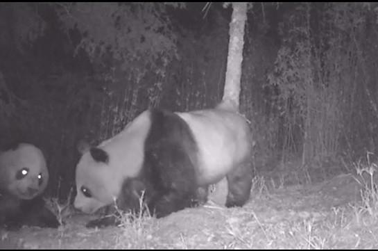 В Китае панда «обезвредила» видеоловушку (Видео)