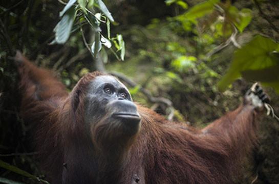Учёные ищут редких орангутанов с помощью тепловизора (Видео)