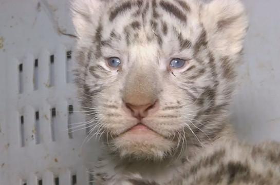 В чилийском зоопарке первый раз осмотрели трёх белых тигрят (Видео)