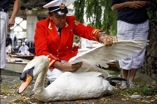 На Темзе начали перепись лебедей-шептунов королевы (Видео)
