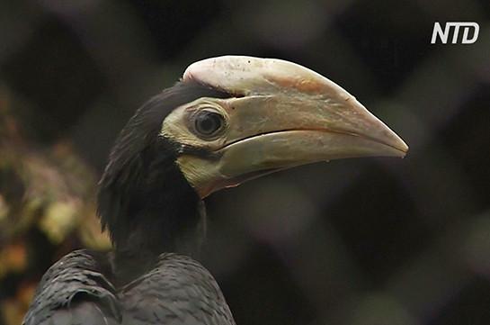 Լեհաստանում ներկայացրել են հազվադեպ հանդիպող ռնգեղջյուր-թռչուն (Տեսանյութ)
