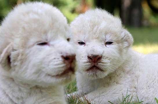 В Китае родились редчайшие львята-альбиносы (Видео)