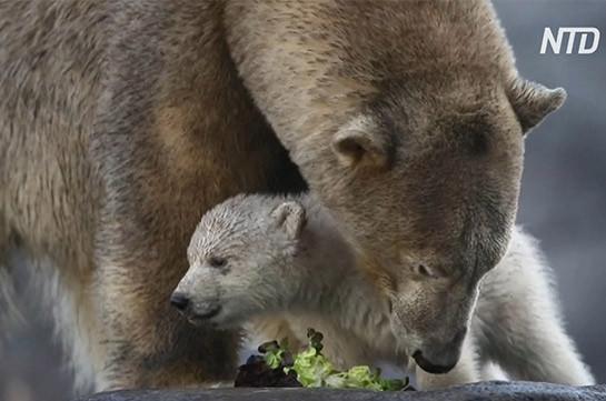В венском зоопарке дебютировал белый медвежонок (Видео)