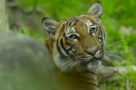 В зоопарке Нью-Йорка коронавирусом заразились четыре тигра и три льва
